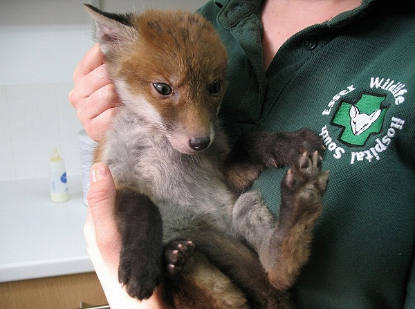 s_rescued_fox_muddsey_03