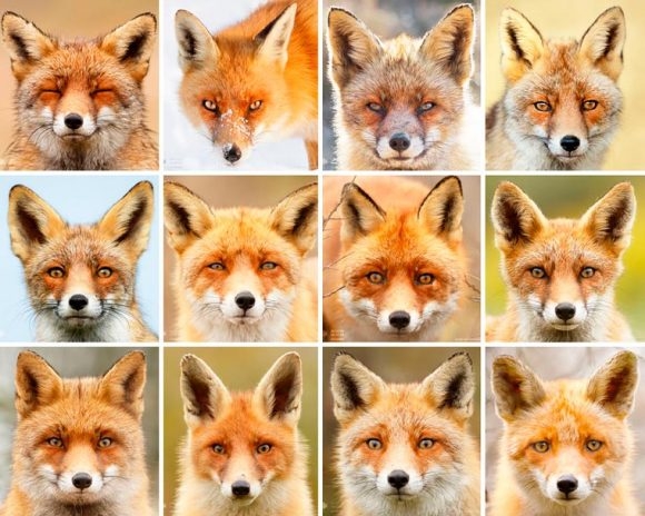 faces_of_foxes_00