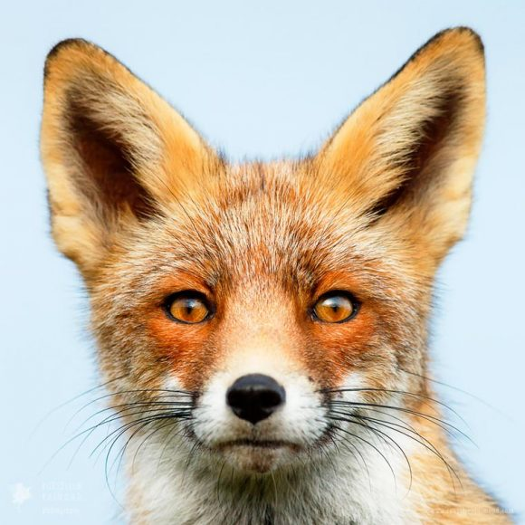 faces_of_foxes_01