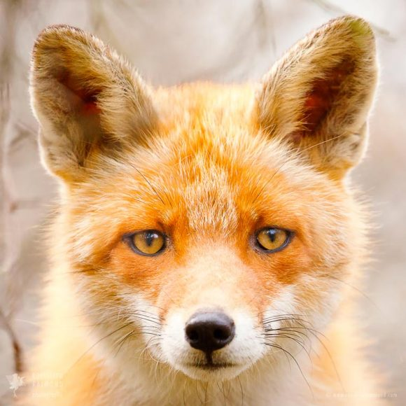 faces_of_foxes_04
