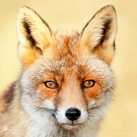 faces_of_foxes_05