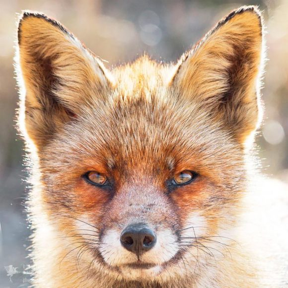 faces_of_foxes_06