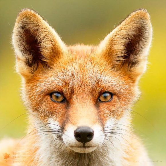 faces_of_foxes_07