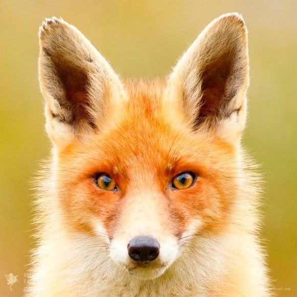 faces_of_foxes_08