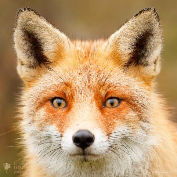 faces_of_foxes_09