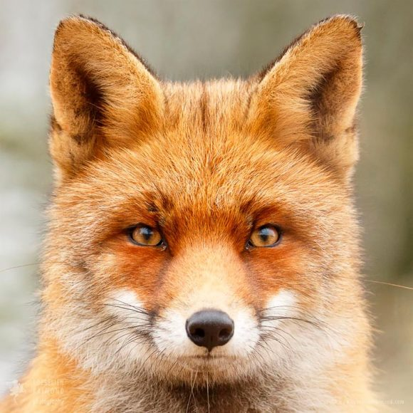 faces_of_foxes_10