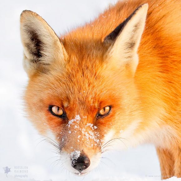 faces_of_foxes_11