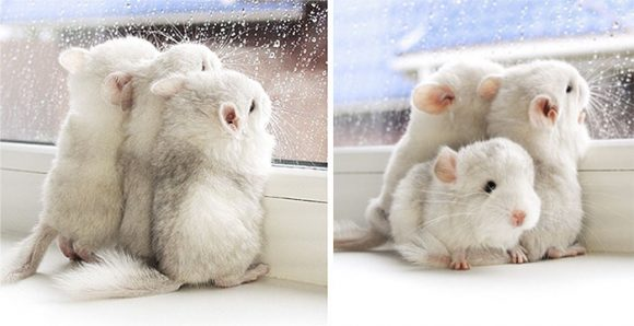 cute_baby_chinchillas_01