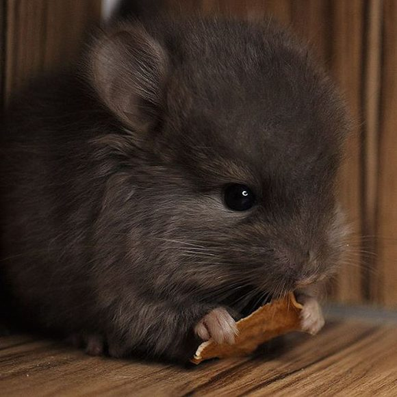 cute_baby_chinchillas_02