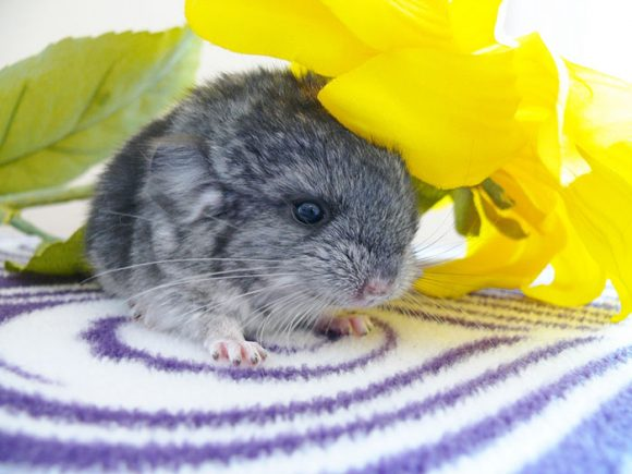 cute_baby_chinchillas_07