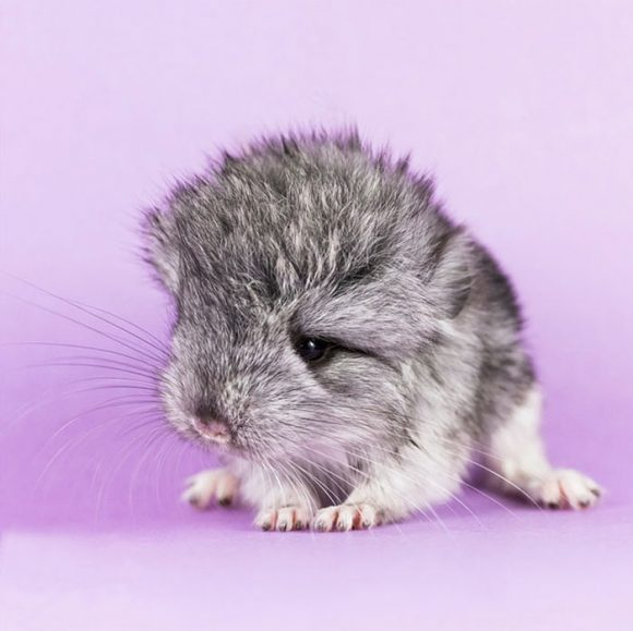 cute_baby_chinchillas_08