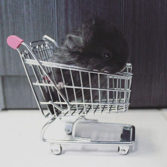 cute_baby_chinchillas_09