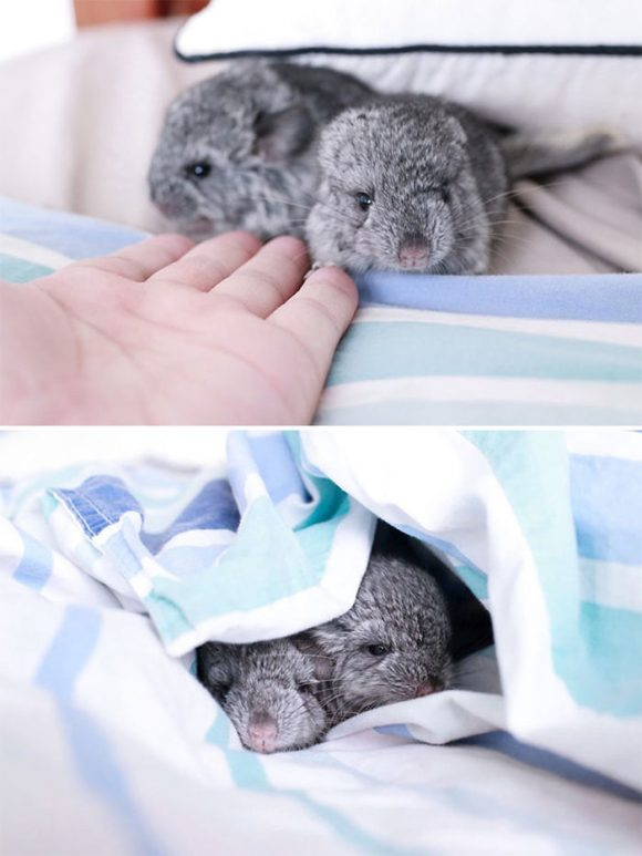 cute_baby_chinchillas_10
